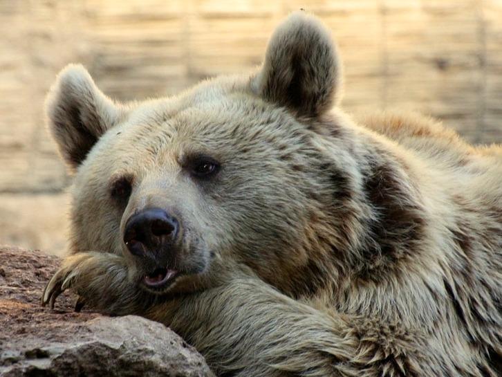 bear-88958_1280
