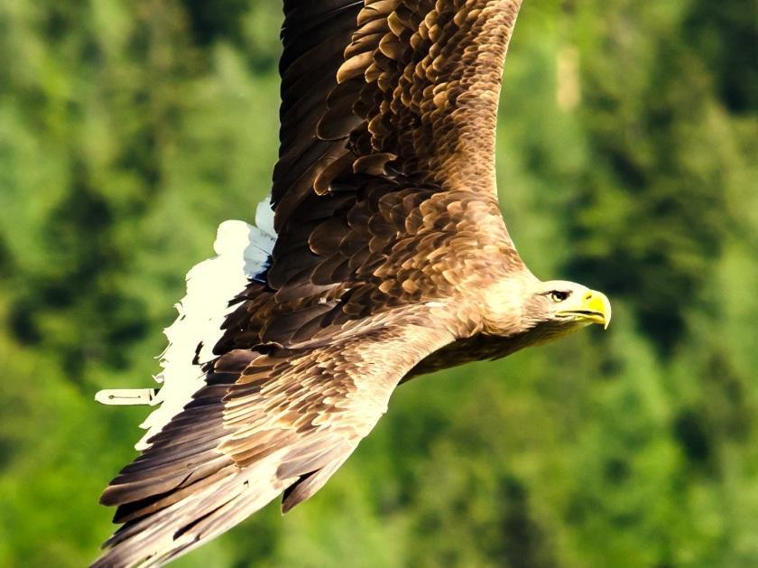 imperial-eagle-1436278