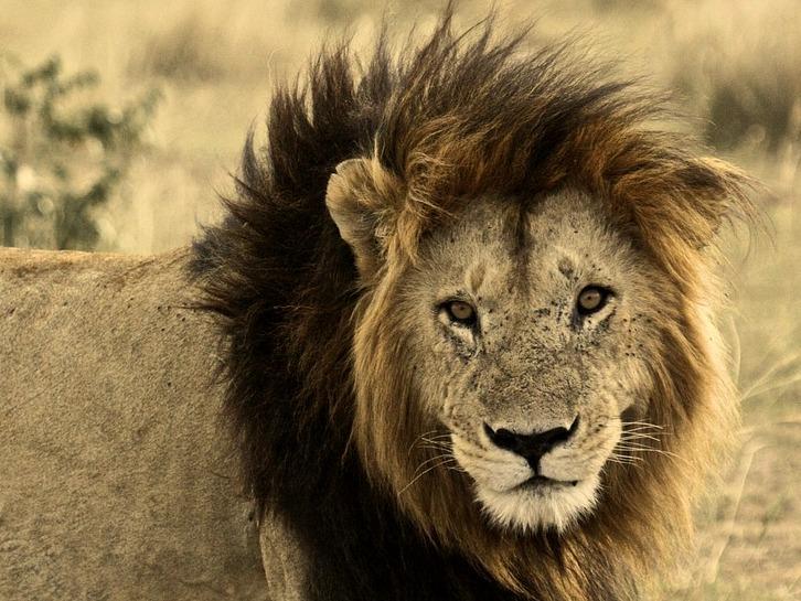 lion-171212_1280